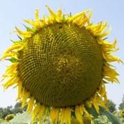 Семена подсолнечника Альманзор фото
