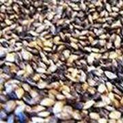 Семена сосны обыкновенной первого класса фото