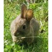 Кролики продажа, опт Украина фото
