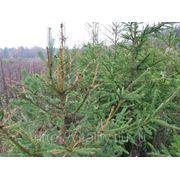 Обследование посадочного материала в лесных и декоративных питомниках фото