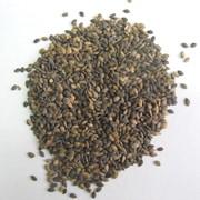 Семена сосны фото