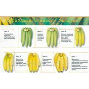 Бананы Эквадор фото