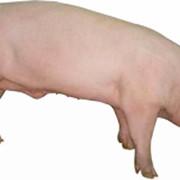 Кормовые концентраты, 1300 БМВД Финишер для свиней 10% Провими, 50 кг фото