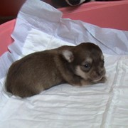 Питомник предлагает щенков чихуахуа. фото