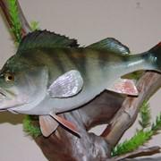 Изготовление чучел рыб фото
