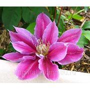 Клематис крупноцветковый раннецветущий Доктор Руппель (контейнер 3л) фото