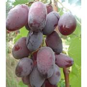 Черенки винограда Зарево фото