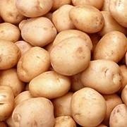 Продам картофель оптом фото