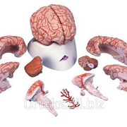 Модель мозга с артериями, 9 частей фото
