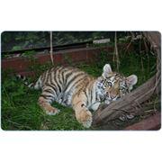 Кормление животных Амурский тигр фото