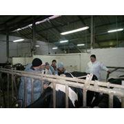 Кормление в молочном животноводстве эффективные рационы фото