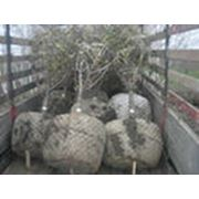 Посадка взрослых деревьев фото