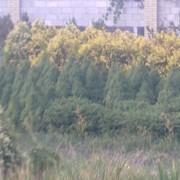 Саженцы хвойных деревьев фото