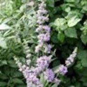 Витекс священный 5 семян посаженны мини-теплички фото