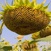 Семена подсолнечника Фермер масляный Стандарт фото
