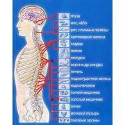 Заболевания периферической нервной системы позвоночника и суставов фото