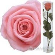 Telemag Стабилизированный цветок роза,мини. Цвет светло-розовый. фото