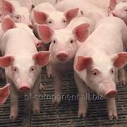 Желудочно-кишечный комплексный препарат для промышленного производства свинины Лактобифадол фото