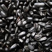 Подсолнечник масличный фото