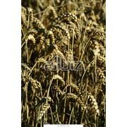 Купить зерно пшеницы и ячменя у производителя Выращивание и продажа оптом фото