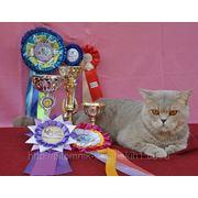 ПИТОМНИК БРИТАНСКИХ КОРОТКОШЕРСТНЫХ КОШЕК<<SILVER TOY*RU>>предлагает кота на вязку фото