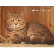 Вязка Шотландский страйт кот приглашает кошек фото