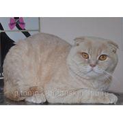 Шотландский вислоухий кот-вязка фото