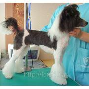 Стрижка собак - китайская хохлатая фото