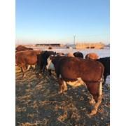 бычки, КРС, мал, говядина, быки, мясо фото