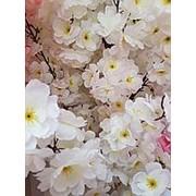 Сакура цветущая белая 150 см (без горшка) фото