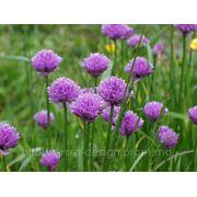 Allium schoenoprasum. — Лук-резанец, шнитт-лук, скорода. фото