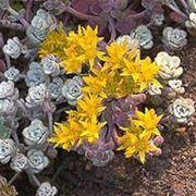 Седум лопатчатолистный — Sedum spathulifolium Hook фото