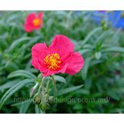 Солнцецвет гибридный — Helianthemum hybridum hort. фото