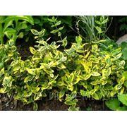 Бересклет Форчуна — Emerald Gold -Euonymus fortunei фото