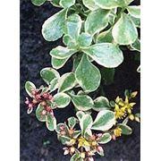 Седум камчатский — S.kamtschaticum f. variegatum фото