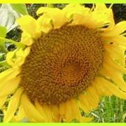 Семена подсолнечника фото