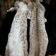 Шкуры рыси сибирской фото