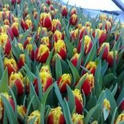 Луковицы тюльпанов из Голландии фото