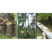 Спиливание аварийных деревьев. Спил дерева фото