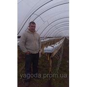 Технология выращивания земляники. Консультационные услуги. фото