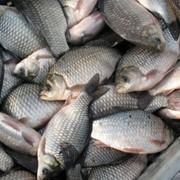 Рыба живая, купить живую рыбу, жывая рыба оптом, продам живую рыбу фото