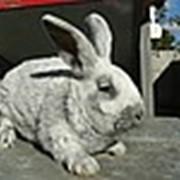 Кролик Большое светлое серебро фото