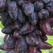 Саженцы винограда. фото
