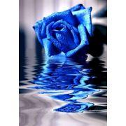 Синие розы Киев купить синие розы в Киеве доставка на дом заказать розы синего цвета фото