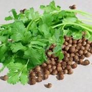 Косметическое масло семян кориандра 10мл фото