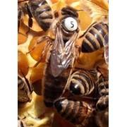 Пчеломатки карника фото