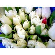 Киев тюльпаны фото