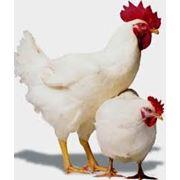 Технология содержания птицы. фото