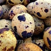 Перепелиное пищевое яйцо фото