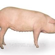 Свиньи гибридные фото
